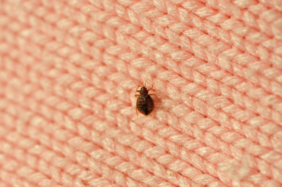 Example in real sizing of a bed bug